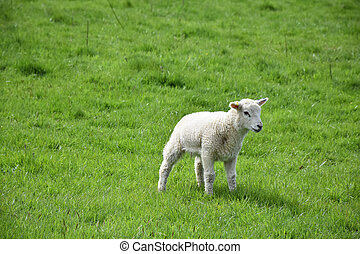 Lush Grass Field with a Baby Lamb Standing in It