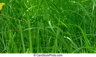 Lush grass with yellow spring dandelion flower - Lush grass...