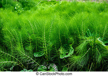 lush green equisetum - large thicket of a lush green...