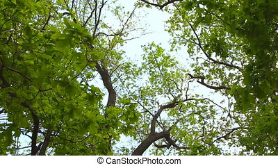 Lush green foliage, birch trees and clear sky in the forest