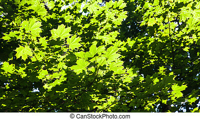 green foliage of maple trees illuminated by sun - lush green...