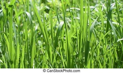 Lush green grass filling the frame