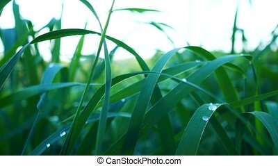 Lush green grass with dew drops.