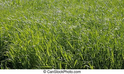 Lush green meadows for haymaking forage grass - Forage grass...