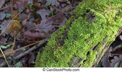 Lush green moss on fallen tree trunk in a forest - Panning...