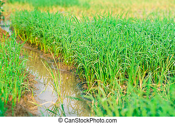 Lush green rice field and water