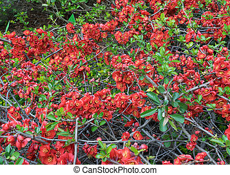 Lush Red flowers of Cydonia or Chaenomeles Japonica or ...