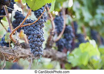 Lush, Ripe Wine Grapes on the Vine near Napa Valley,...