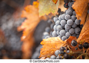 Lush, Ripe Wine Grapes with Mist Drops on the Vine Ready for...