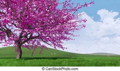 Lush sakura cherry blossoms with falling petals - Close-up...