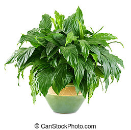 Lush, shiny indoor plant in a nice pot, studio isolated on...