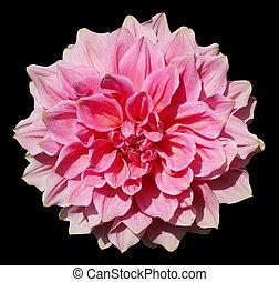 Lush terry huge pink flower of summer Dahlia  closeup.