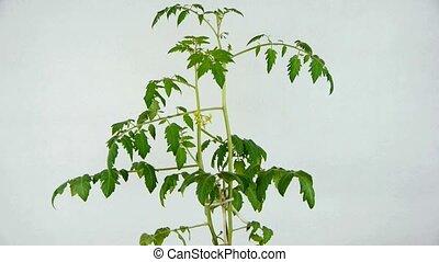 Lush tomato seedlings & flowers.