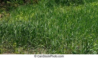 Lush weeds in wind, grassland.