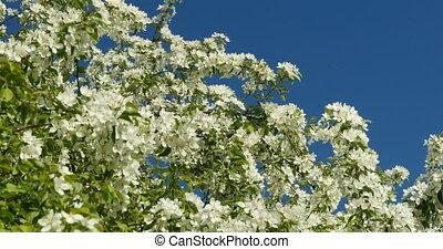 lush white flowers apple trees - lush white flowers apple...