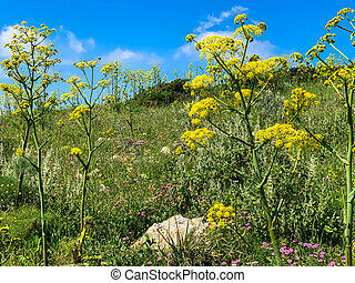 Lush Wild Giant Hogweed plant with blossom. Poisonous plant