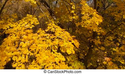 Autumn leaves of tree close-up. Colorful variegated foliage in sunlight. Fall natural background of yellow orange green foliage. Scenic nature backdrop of autumn leaves. Multicolor autumn maple tree.
