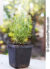 osemary bush in a container