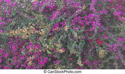 lushing purple flowers on the fence - beautiful lush...