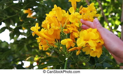 lushing yellow flowers on the fence - beautiful lush...