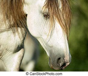 lusitano horse head closeup