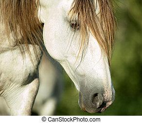 lusitano, paarde, hoofd, closeup