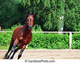 lustig, pferd, bucht, rennender , rgeöffnete, manege