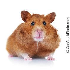 lustiges, aus, weißes, hamster