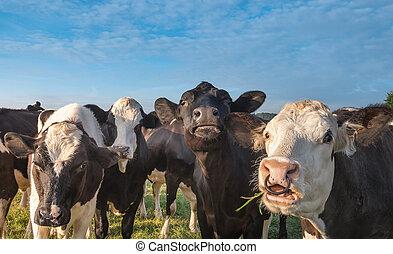 lustiges, kühe, anschauen kamera, auf, a, sonniger tag