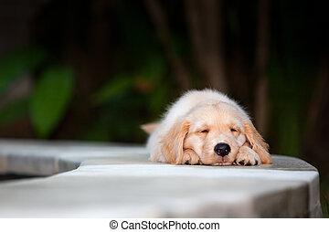 lustiges,  labrador, goldenes, ausgedehnt,  Poolside,  puppylying, Apportierhund