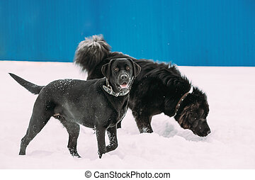 lustiges, spielen, draußen, labrador, zwei, zusammen, schnee, neufundland, hunden, winter