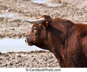 luta, touro, descansar, em, a, campo