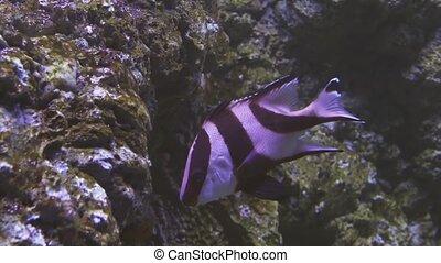 Lutjanus sebae in saltwater aquarium stock footage video -...