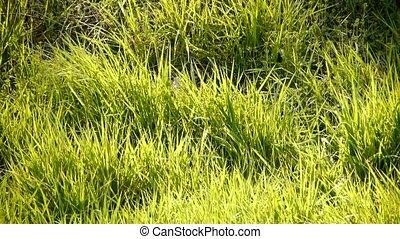 luxuriant, herbe, sun.