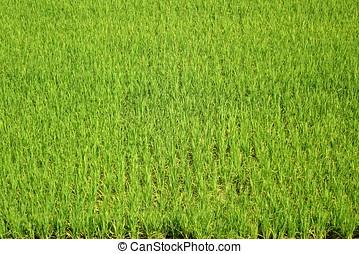 luxuriante, e, arroz verde, campo