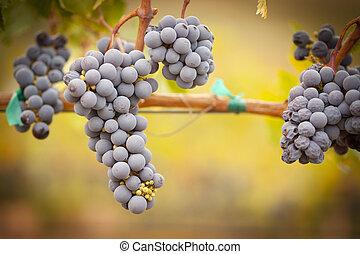 luxuriante, maduro, uvas vinho, ligado, a, videira