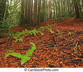 luxuriante, moderado, floresta amazônica, e, redwood, árvores, em, califórnia norte