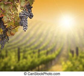 luxuriante, videira uva, com, blurry, vinhedo, fundo