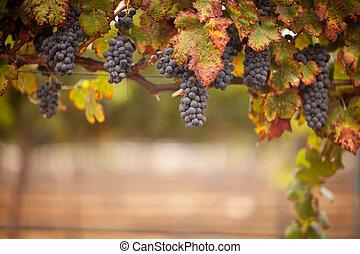 luxuriante, videira, uvas, maduro, vinho