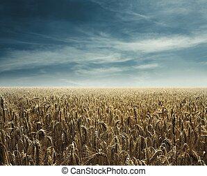 luz, caliente, campo de maíz, espalda