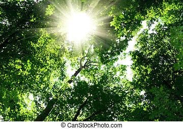 luz del sol, en, árboles, de, bosque verde