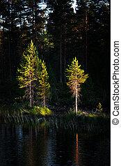 luz, noite, árvores pinho