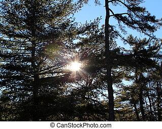 luz solar, brilhar, através, árvores pinho