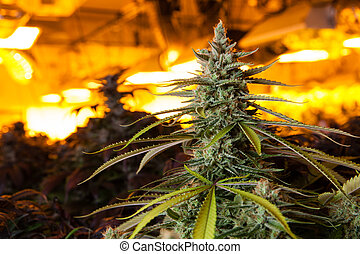 luzes, crescer, sob, sala, marijuana