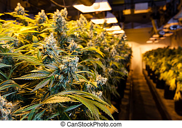 luzes, sala, sob, crescer, marijuana