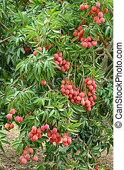 lychee, árbol