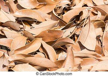 lychee, feuille brune, arbre