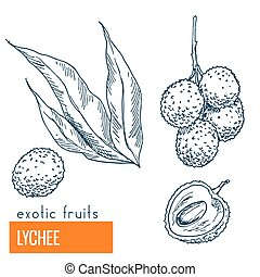 Lychee. Hand drawn vector illustration