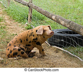 lycklig, gris