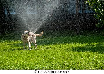 lycklig, hund, play-6